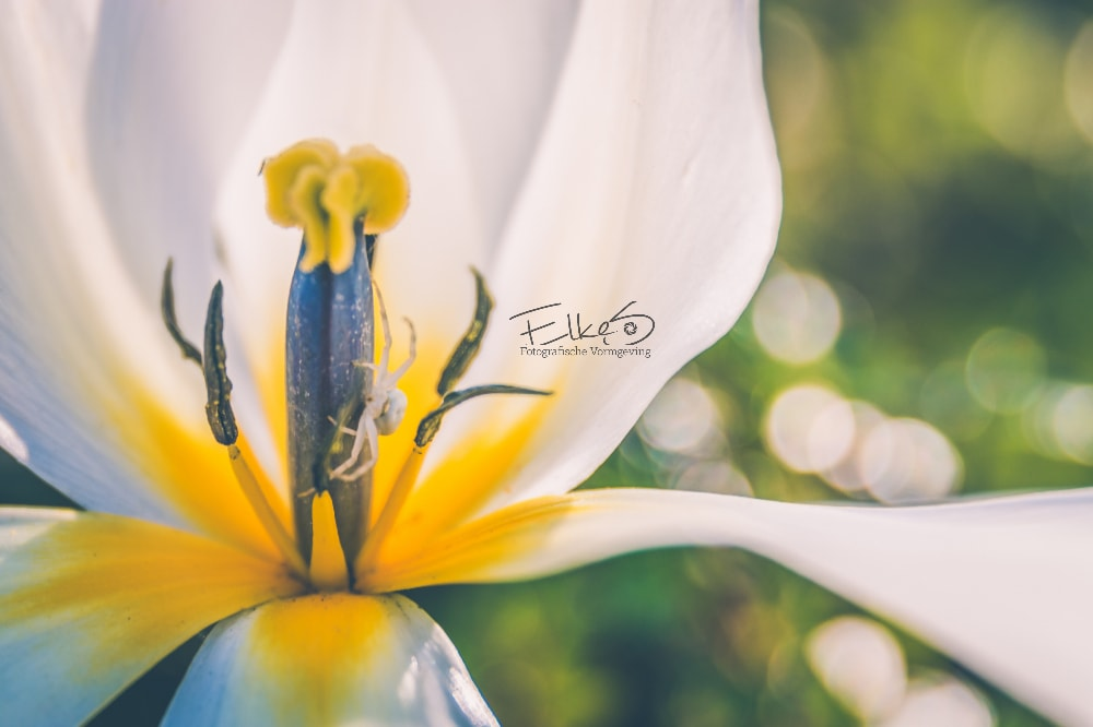 Macro foto van Tulp met spin